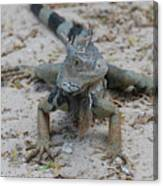 Amazing Iguana With A Striped Tail On A Beach Canvas Print