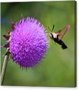 Amazing Insects - Hummingbird Moth Canvas Print