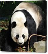 Amazing Sweet Chinese Giant Panda Bear Walking Around Canvas Print