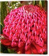 Amazing Waratah Flower Canvas Print