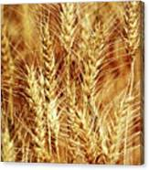 Amber Waves Of Grain 1 Canvas Print