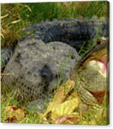 American Alligator Arizona Chapter Canvas Print