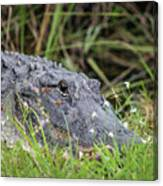 American Alligator Canvas Print