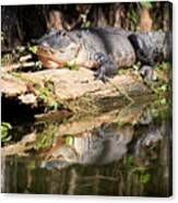 American Alligator With Caterpillar Canvas Print