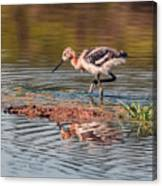 American Avocet Chick Canvas Print