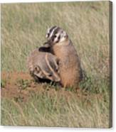 American Badger Cub Climbs On Its Mother Canvas Print