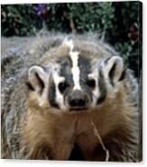 American Badger On Alert Canvas Print
