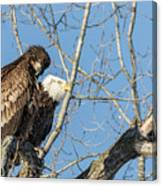 American Bald Eagle 2017-19 Canvas Print