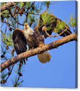 American Bald Eagle 3 Canvas Print