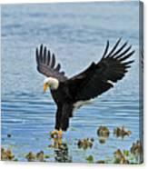 American Bald Eagle Sets Down On Fish Canvas Print