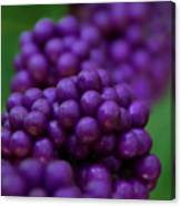 American Beautyberry Canvas Print