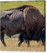 American Bison - Antelope Island - Utah Canvas Print