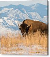 American Bison In Front Of The Rocky Mountains Canvas Print