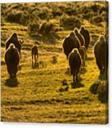American Bison Sunset March Canvas Print