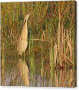 American Bittern Close To Shore Canvas Print
