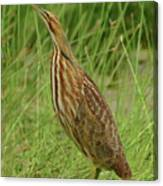 American Bittern Looking Up Canvas Print