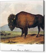 American Buffalo, 1846 Canvas Print