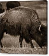 American Buffalo Grazing Canvas Print