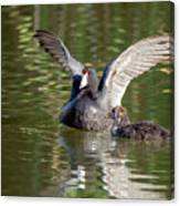 American Coot Adult And Juvenile Canvas Print