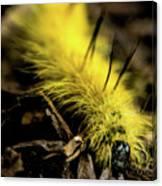 American Dagger Moth Caterpillar Canvas Print