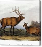 American Elk, 1846 Canvas Print