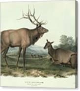 American Elk Canvas Print