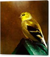 American Gold Finch In Texture Canvas Print