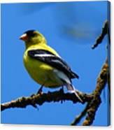 American Goldfinch 1 Canvas Print