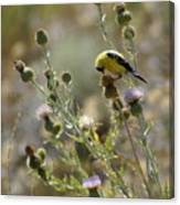 American Goldfinch Having Lunch On Bakery Hill Canvas Print