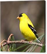 American Goldfinch II Canvas Print