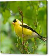 American Goldfinch Sittin' In A Tree Canvas Print