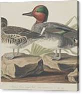 American Green-winged Teal Canvas Print