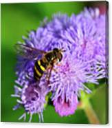 American Hoverfly Canvas Print