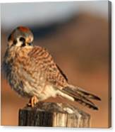 American Kestrel Giving Hunting Stare Canvas Print