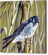 American Kestrel Canvas Print