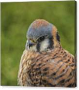 American Kestrel Portrait Canvas Print