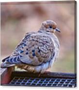 American Mourning Dove Canvas Print