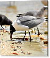 American Oyster Catcher Canvas Print