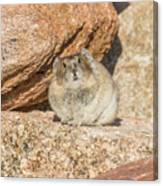 American Pika Focuses On The Camera Canvas Print
