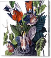 American Robin Audubon Birds Of America 1st Edition 1840 Octavo Plate 142 Canvas Print