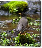 American Robin In Garden Springs Creek Canvas Print