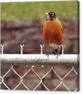 American Robin  In Spring          March            Indiana Canvas Print