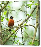 American Robin On Tree Branch Canvas Print