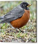 American Robin With Muddy Beak Canvas Print