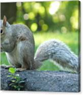 American Squirrel Canvas Print