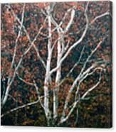 American Sycamore # 2 Canvas Print