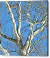American Sycamore - Platanus Occidentalis Canvas Print