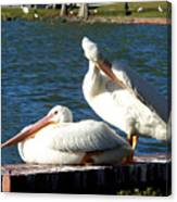 American White Pelican 001 Canvas Print