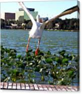American White Pelican 007 Canvas Print