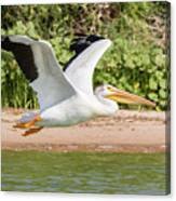 American White Pelican Above The Water Canvas Print